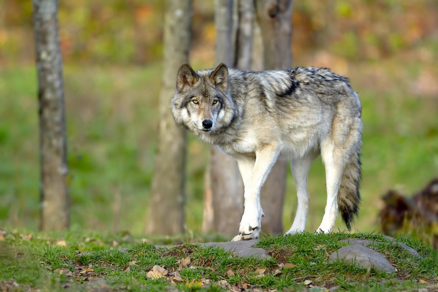 Wolf in Lippe
