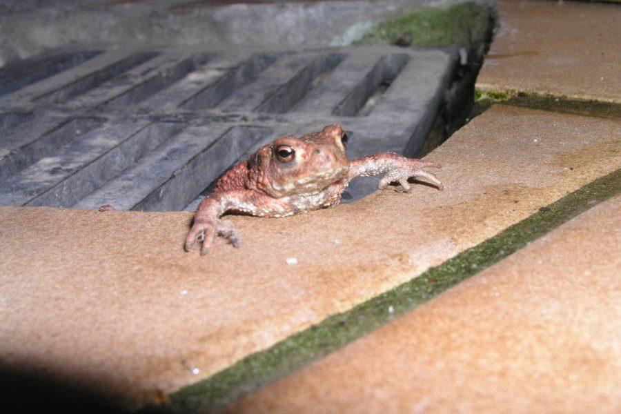 Kröte im Lichtschacht gefangen