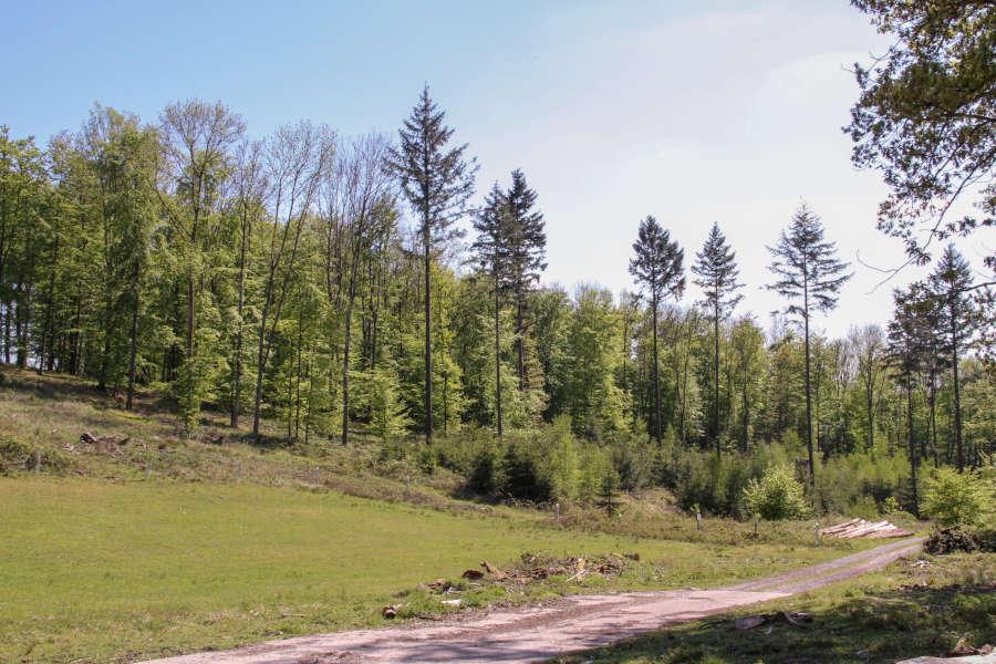 Verbliebene Douglasien auf einer Borkenkäferfläche im Forstrevier Nassesand. (Fotos: Landesverband Lippe)