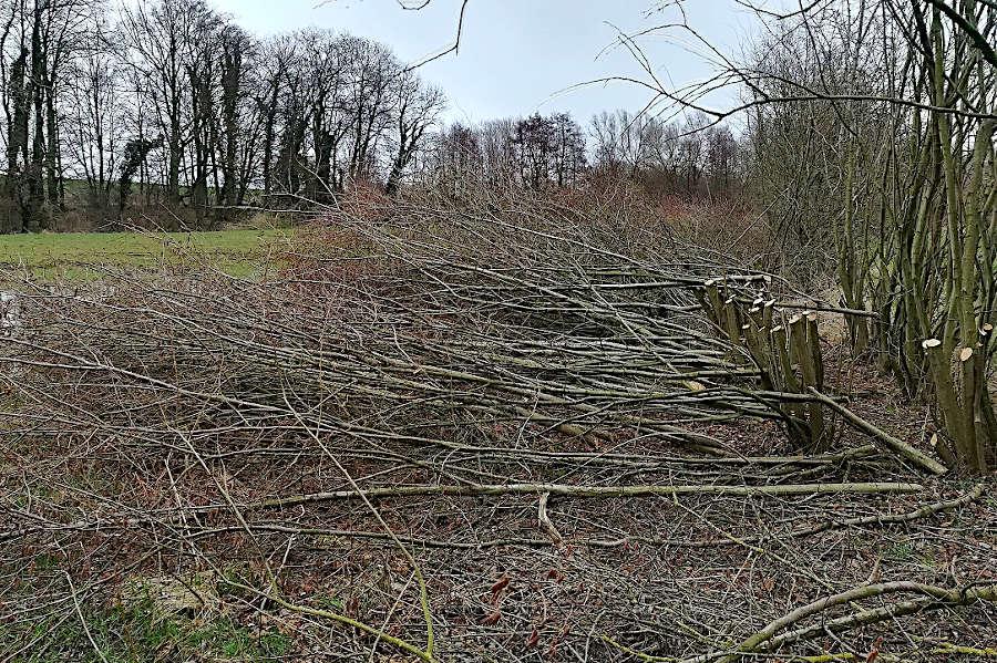 Die Triebe der Hecken liegen auf dem Boden. Die Hecken sind auf Stock gesetzt worden. Foto: Naturschutzbund Leopoldshöhe