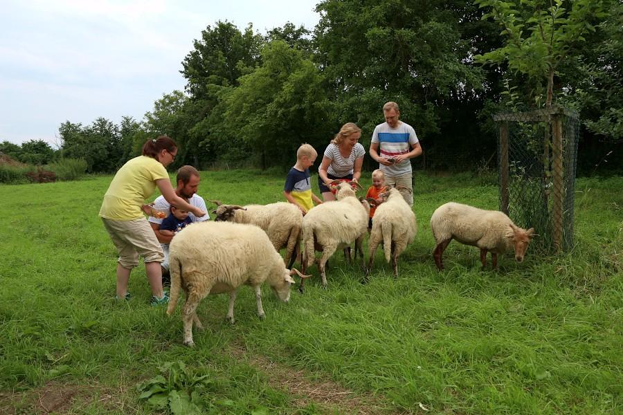 Die Schafe schauen, was diese beiden Familen so in ihren Futterschalen haben. Die Tiere sind durchaus wählerisch. Foto: Thomas Dohna
